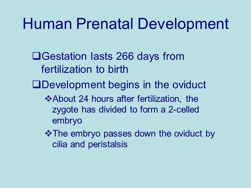 Human Prenatal Development Gestation lasts 266 days from fertilization to birth Development begins in the oviduct About 24 hours after fertilization,