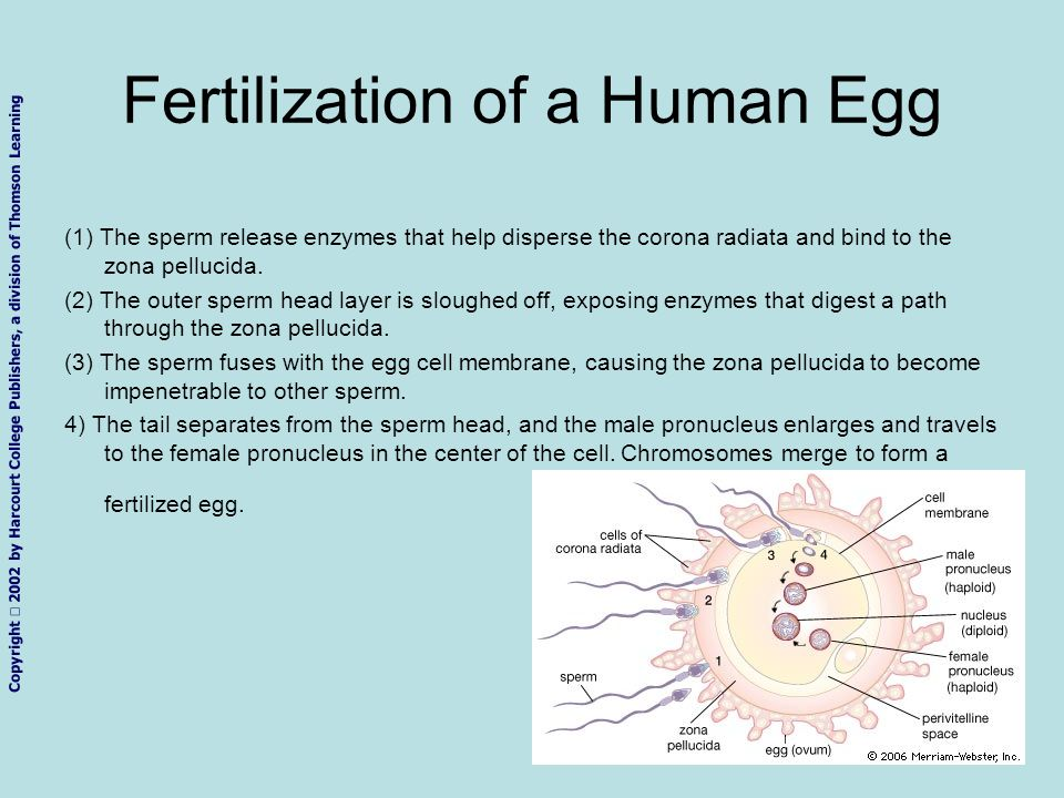 Copyright 2002 by Harcourt College Publishers, a division of Thomson Learning Fertilization of a Human Egg (1) The sperm release enzymes that help dis