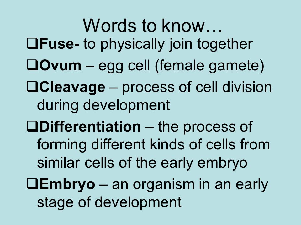 Human Prenatal Development Gestation lasts 266 days from fertilization to birth Development begins in the oviduct About 24 hours after fertilization, the zygote has divided to form a 2-celled embryo The embryo passes down the oviduct by cilia and peristalsis