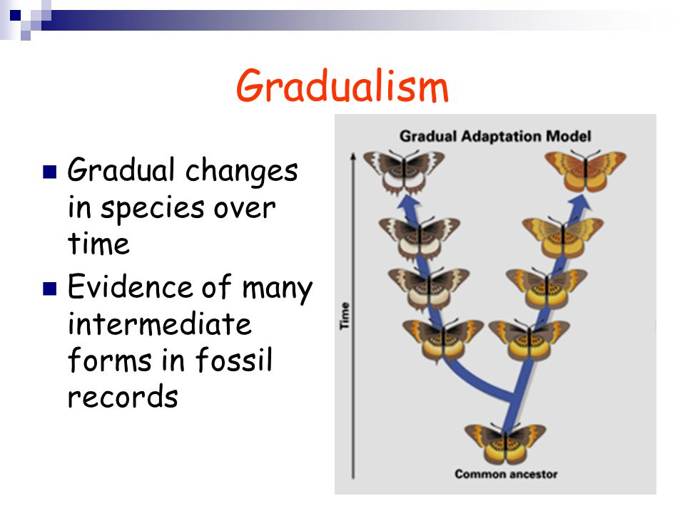 Gradualism Gradual changes in species over time Evidence of many intermediate forms in fossil records