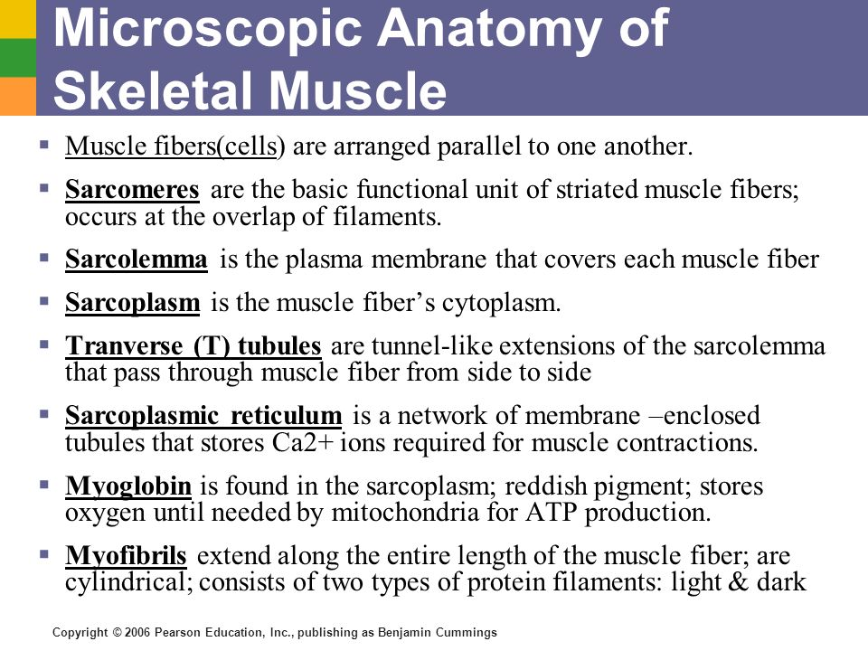 Copyright © 2006 Pearson Education, Inc., publishing as Benjamin Cummings Microscopic Anatomy of Skeletal Muscle Muscle fibers(cells) are arranged par