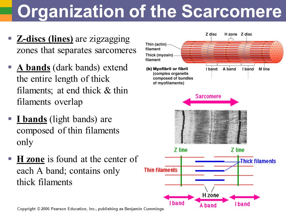 Copyright © 2006 Pearson Education, Inc., publishing as Benjamin Cummings Organization of the Scarcomere Z-discs (lines) are zigzagging zones that sep