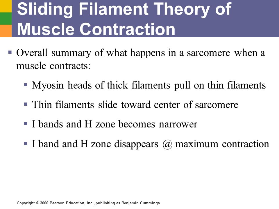 Copyright © 2006 Pearson Education, Inc., publishing as Benjamin Cummings Sliding Filament Theory of Muscle Contraction Overall summary of what happen