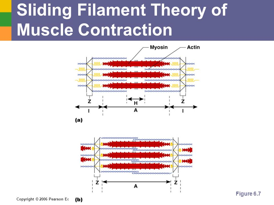 Copyright © 2006 Pearson Education, Inc., publishing as Benjamin Cummings Sliding Filament Theory of Muscle Contraction Figure 6.7