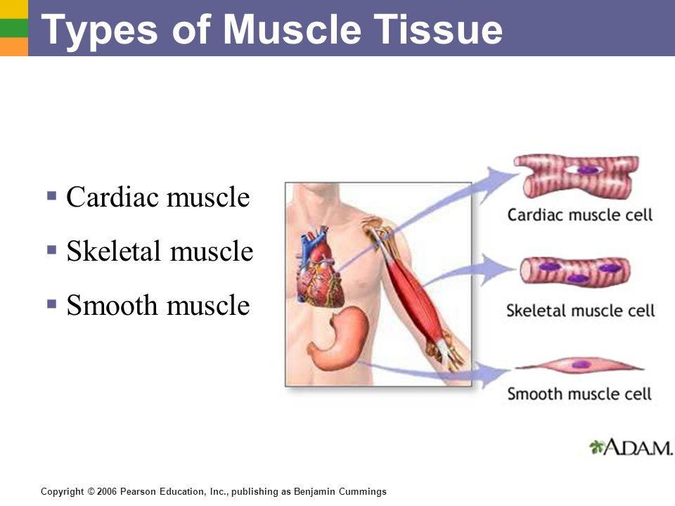 Copyright © 2006 Pearson Education, Inc., publishing as Benjamin Cummings Types of Muscle Tissue Cardiac muscle Skeletal muscle Smooth muscle