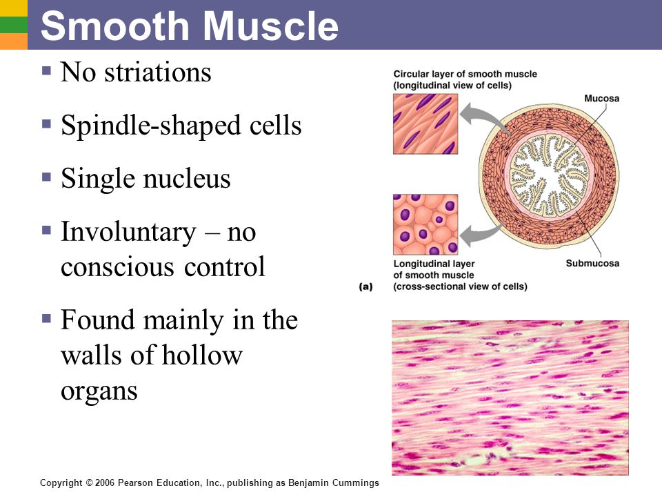 Copyright © 2006 Pearson Education, Inc., publishing as Benjamin Cummings Smooth Muscle No striations Spindle-shaped cells Single nucleus Involuntary
