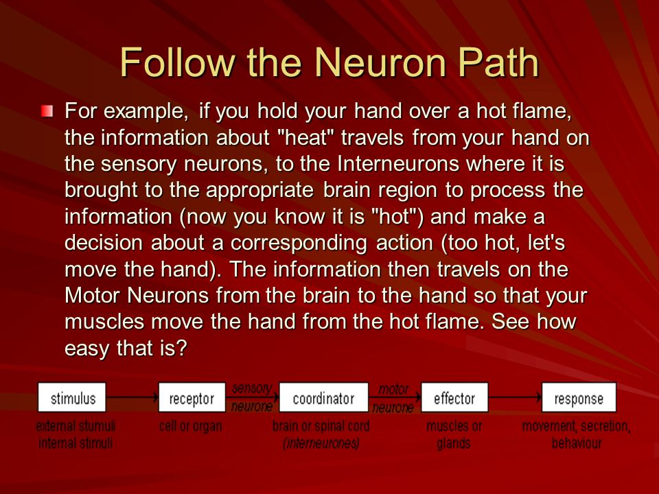 Follow the Neuron Path For example, if you hold your hand over a hot flame, the information about