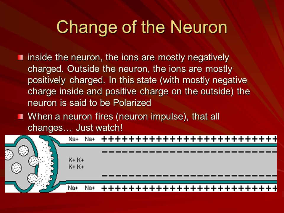 Change of the Neuron inside the neuron, the ions are mostly negatively charged. Outside the neuron, the ions are mostly positively charged. In this st