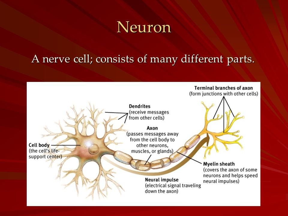 Neuron A nerve cell; consists of many different parts.