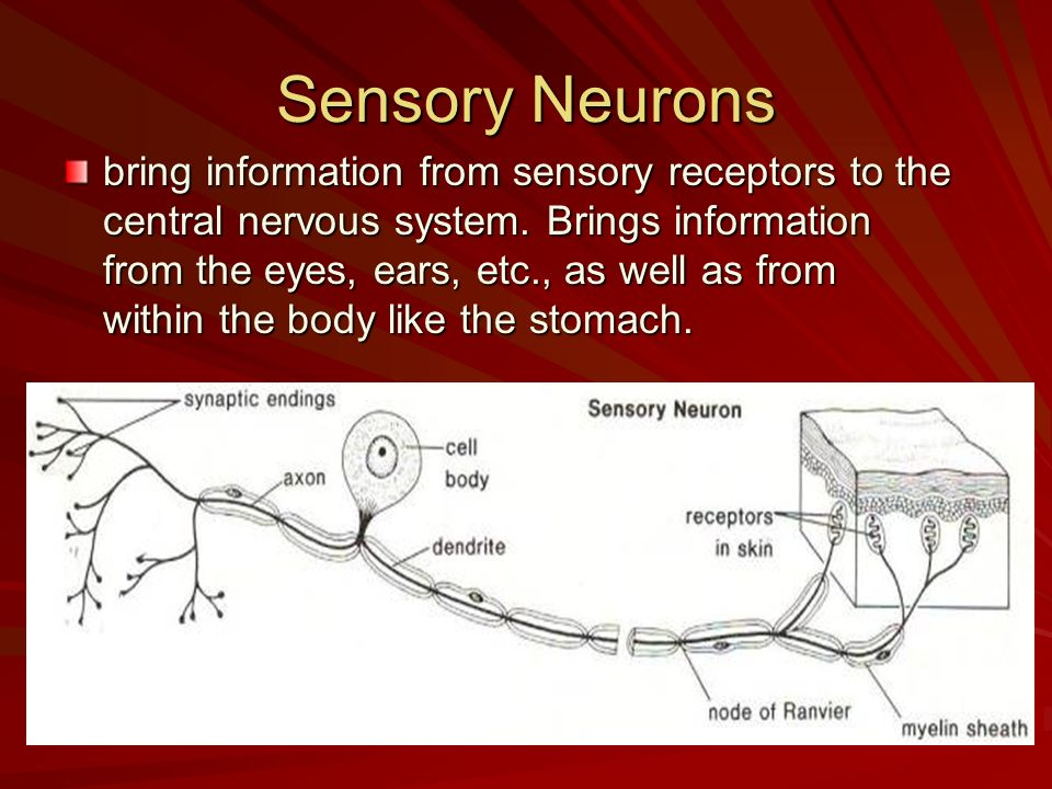 Sensory Neurons bring information from sensory receptors to the central nervous system. Brings information from the eyes, ears, etc., as well as from