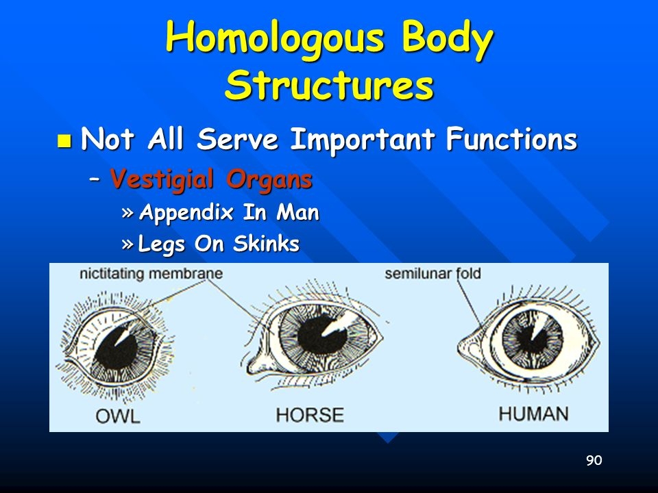 90 Homologous Body Structures Not All Serve Important Functions Not All Serve Important Functions –Vestigial Organs »Appendix In Man »Legs On Skinks