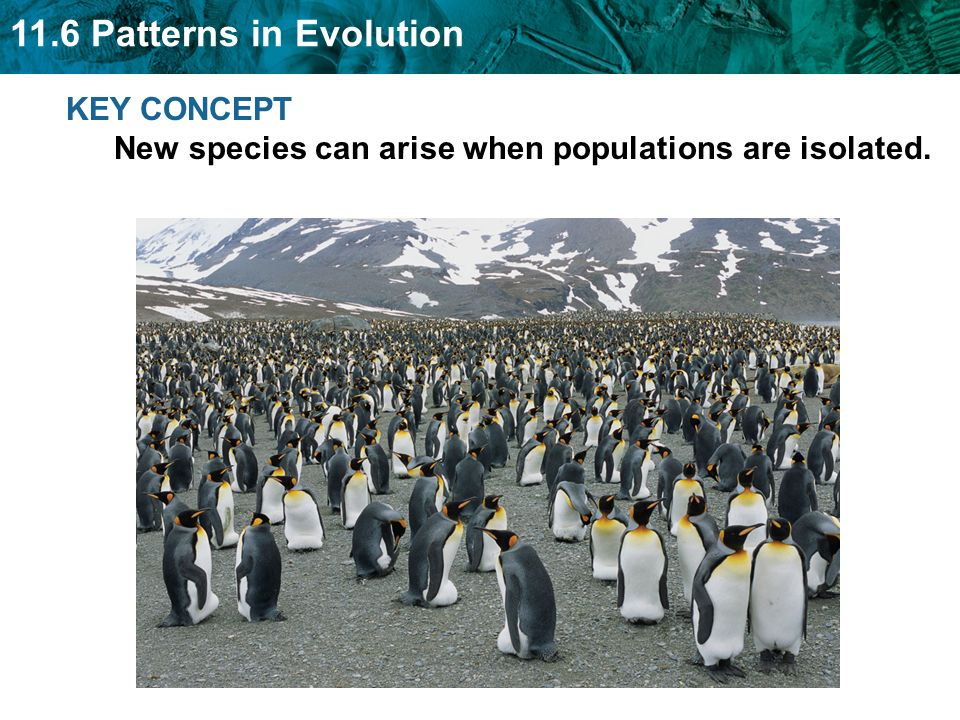 11.6 Patterns in Evolution KEY CONCEPT New species can arise when populations are isolated.