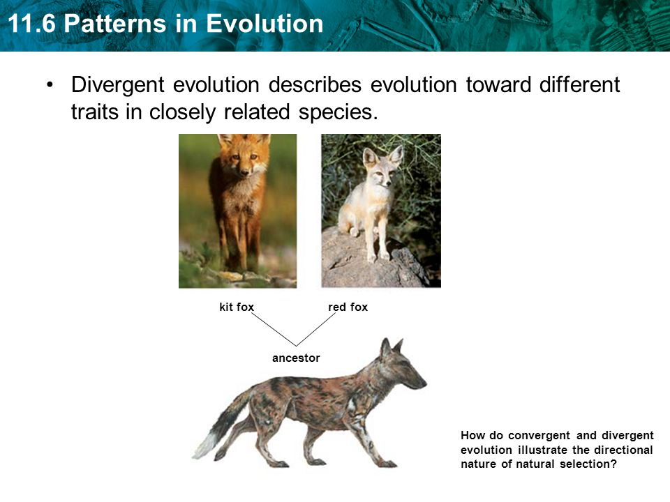 11.6 Patterns in Evolution Divergent evolution describes evolution toward different traits in closely related species. How do convergent and divergent