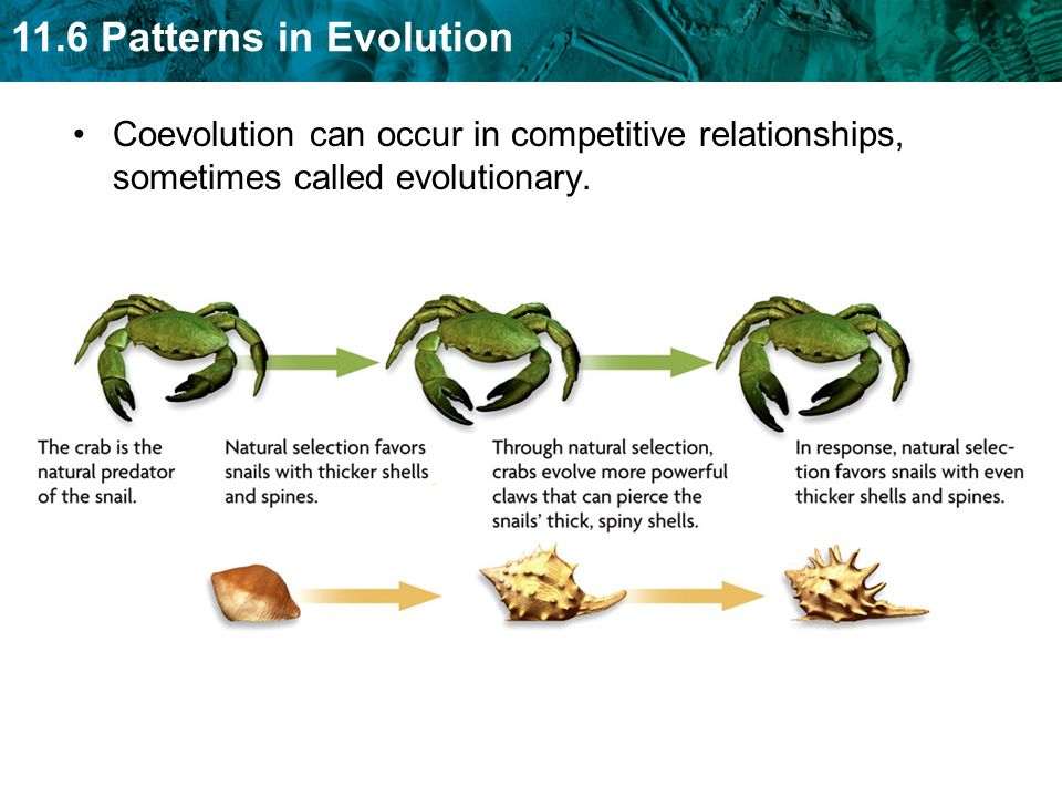 11.6 Patterns in Evolution Sexual selection occurs when certain traits increase mating success.