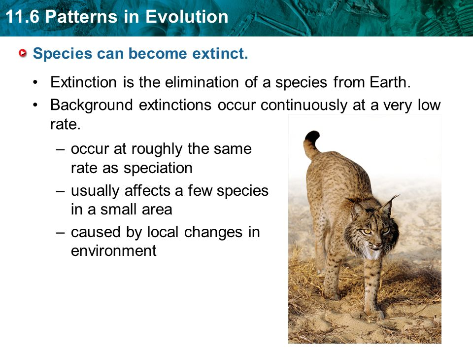 11.6 Patterns in Evolution Species can become extinct. Extinction is the elimination of a species from Earth. Background extinctions occur continuousl