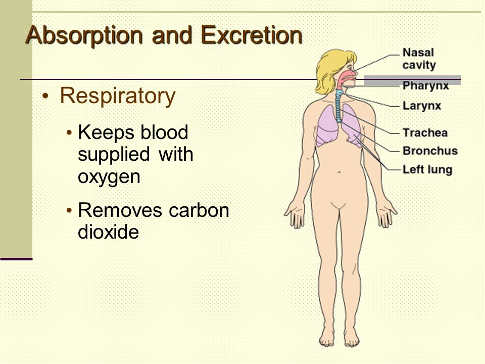 Respiratory Keeps blood supplied with oxygen Removes carbon dioxide