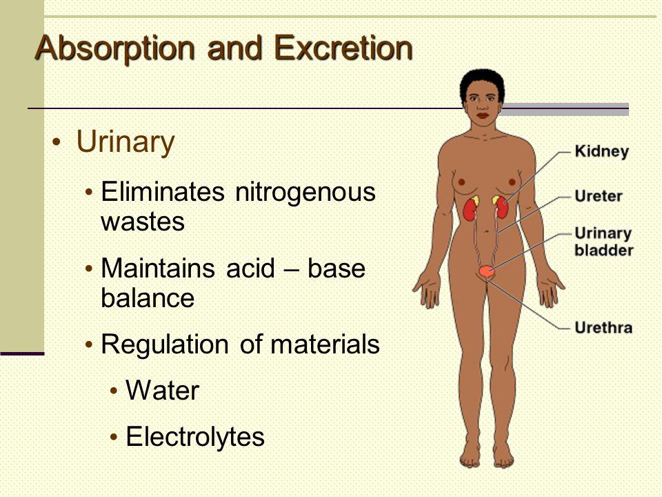 Urinary Eliminates nitrogenous wastes Maintains acid – base balance Regulation of materials Water Electrolytes Absorption and Excretion