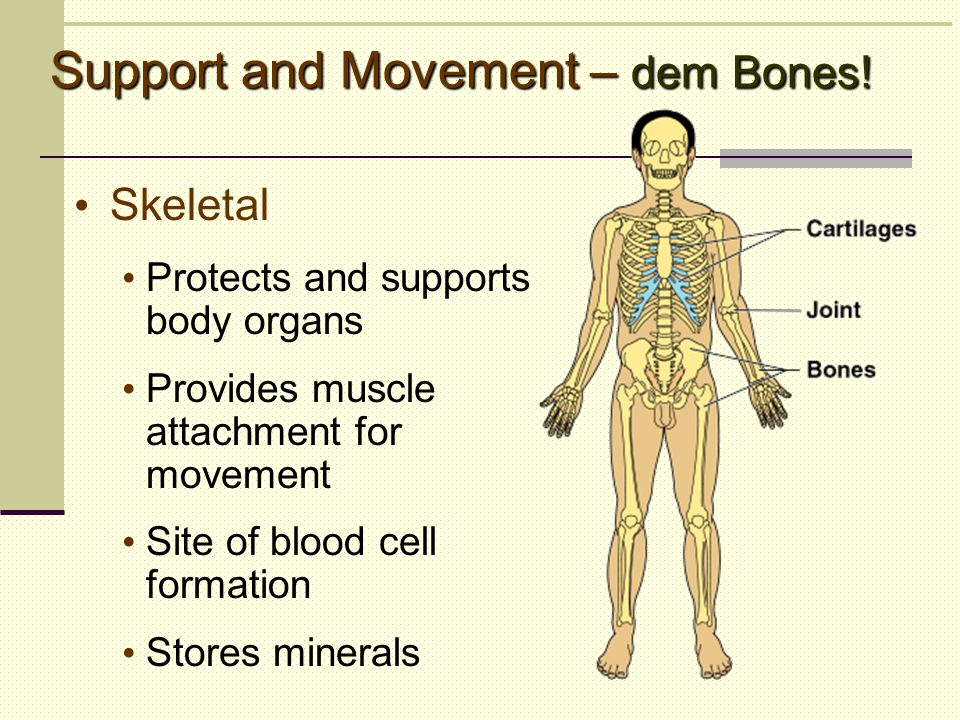 Support and Movement – dem Bones! Skeletal Protects and supports body organs Provides muscle attachment for movement Site of blood cell formation Stor