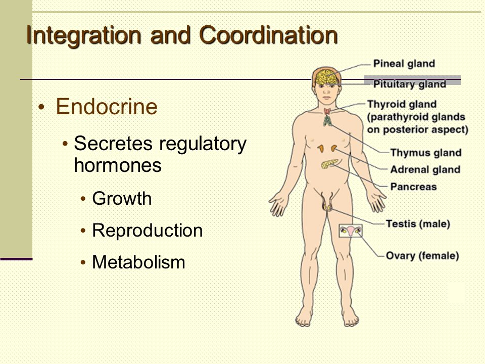 Integration and Coordination Endocrine Secretes regulatory hormones Growth Reproduction Metabolism