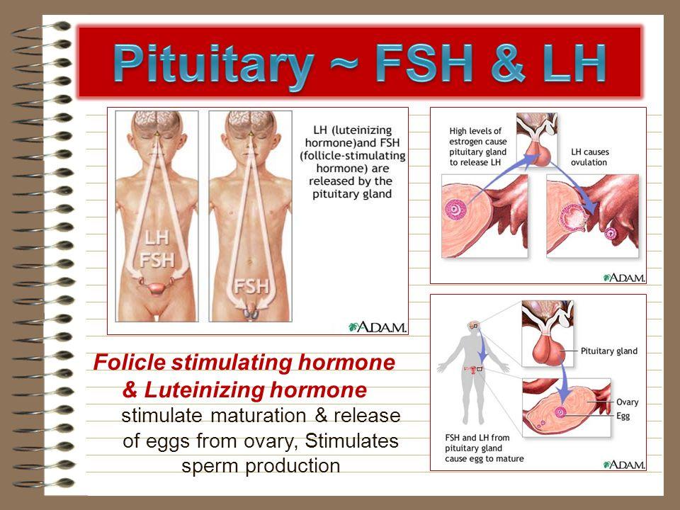 Folicle stimulating hormone & Luteinizing hormone stimulate maturation & release of eggs from ovary, Stimulates sperm production