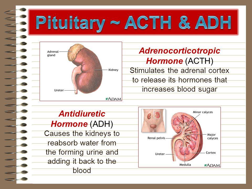Adrenocorticotropic Hormone (ACTH) Stimulates the adrenal cortex to release its hormones that increases blood sugar Antidiuretic Hormone (ADH) Causes