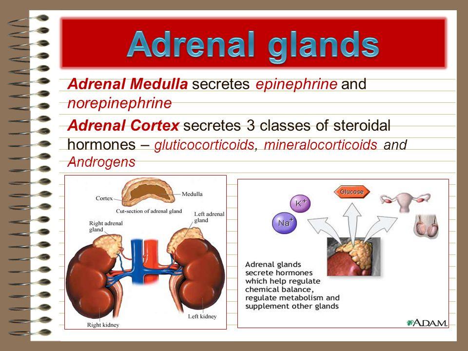 Adrenal Medulla secretes epinephrine and norepinephrine Adrenal Cortex secretes 3 classes of steroidal hormones – gluticocorticoids, mineralocorticoid