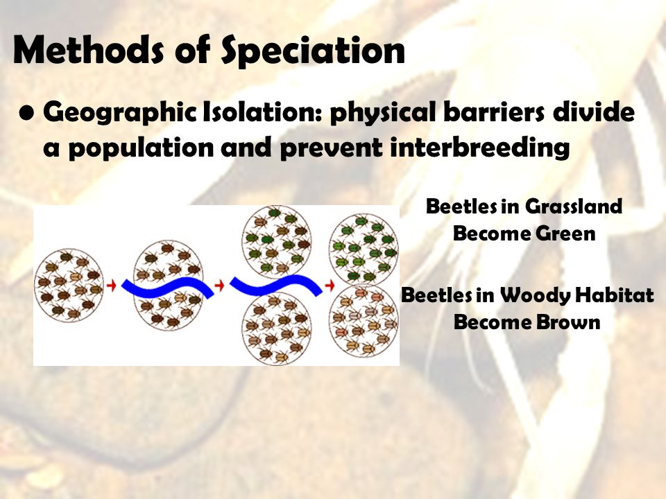 Methods of Speciation Geographic Isolation: physical barriers divide a population and prevent interbreeding Beetles in Grassland Become Green Beetles