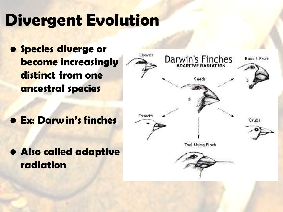 Species diverge or become increasingly distinct from one ancestral species Ex: Darwins finches Also called adaptive radiation Divergent Evolution