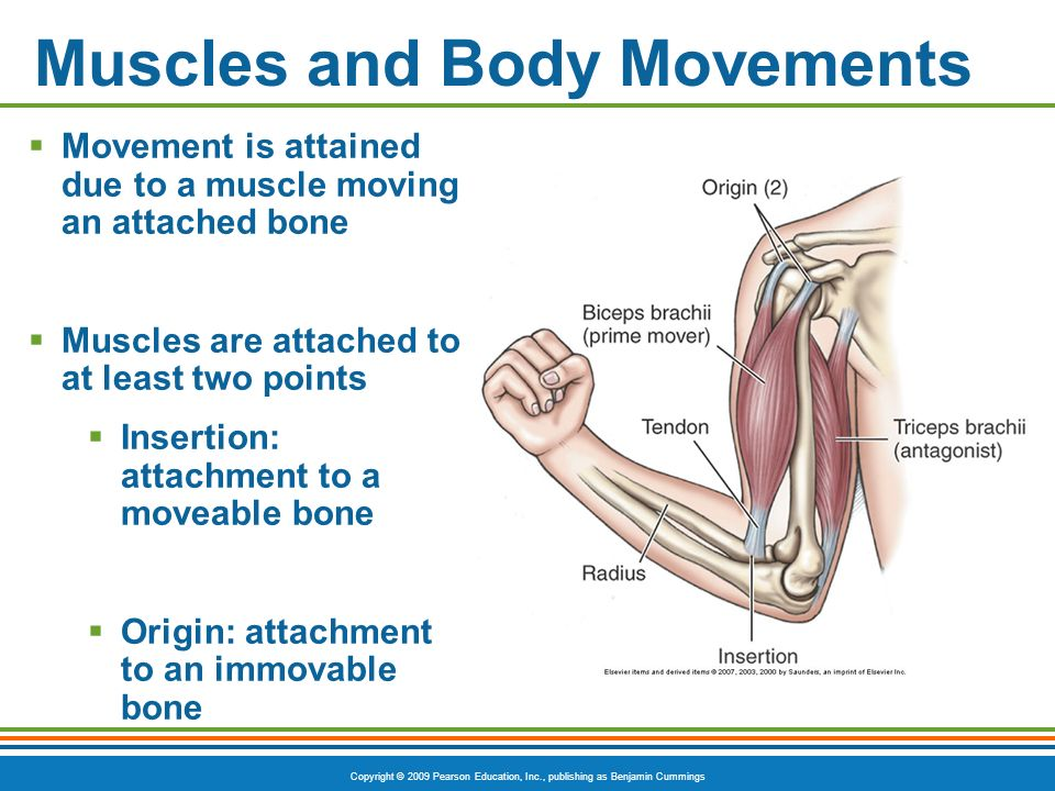 Copyright © 2009 Pearson Education, Inc., publishing as Benjamin Cummings Muscles and Body Movements Movement is attained due to a muscle moving an at