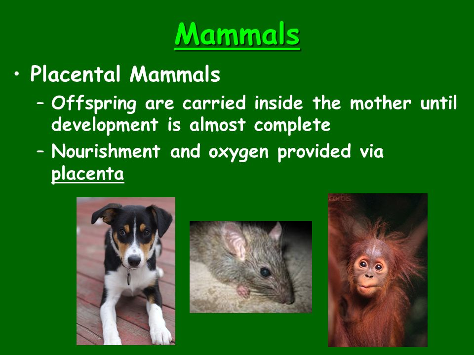 Mammals Placental Mammals –Offspring are carried inside the mother until development is almost complete –Nourishment and oxygen provided via placenta