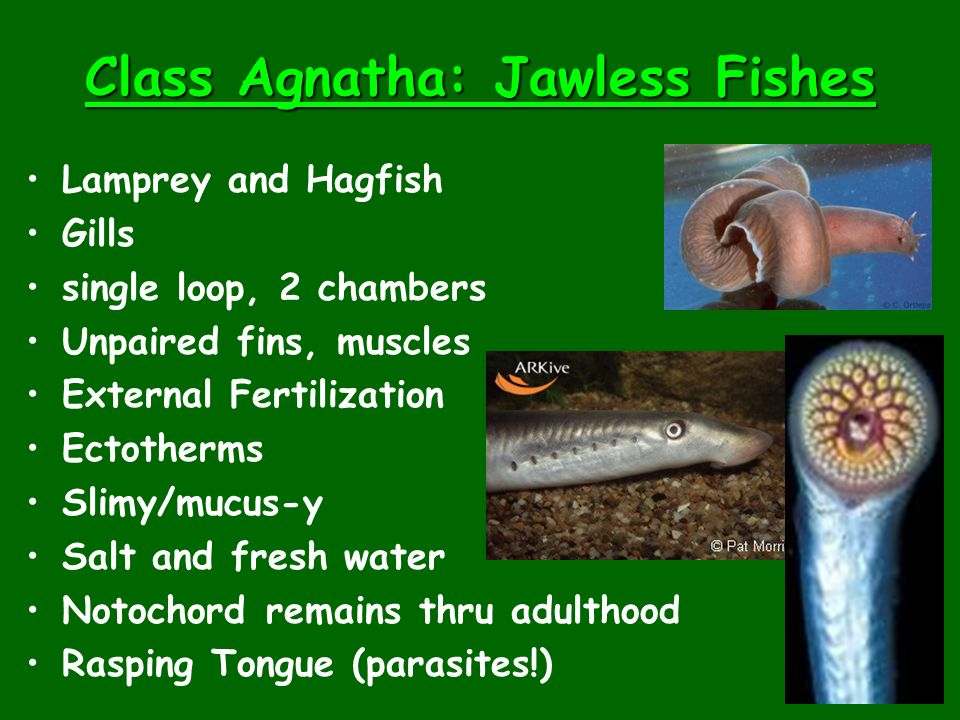Class Agnatha: Jawless Fishes Lamprey and Hagfish Gills single loop, 2 chambers Unpaired fins, muscles External Fertilization Ectotherms Slimy/mucus-y