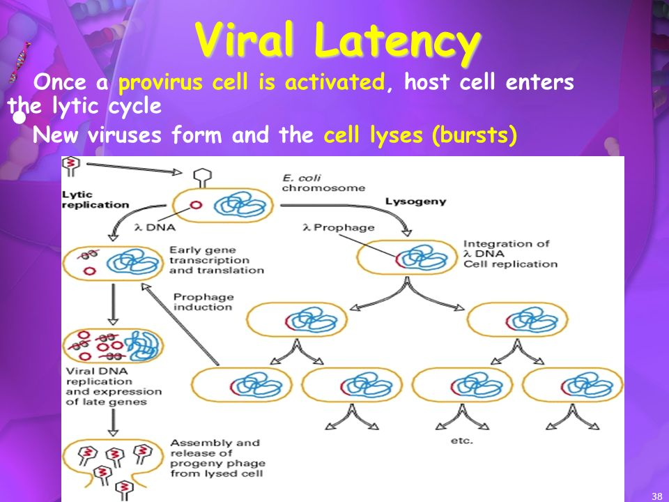 38 Viral Latency Once a provirus cell is activated, host cell enters the lytic cycle New viruses form and the cell lyses (bursts)