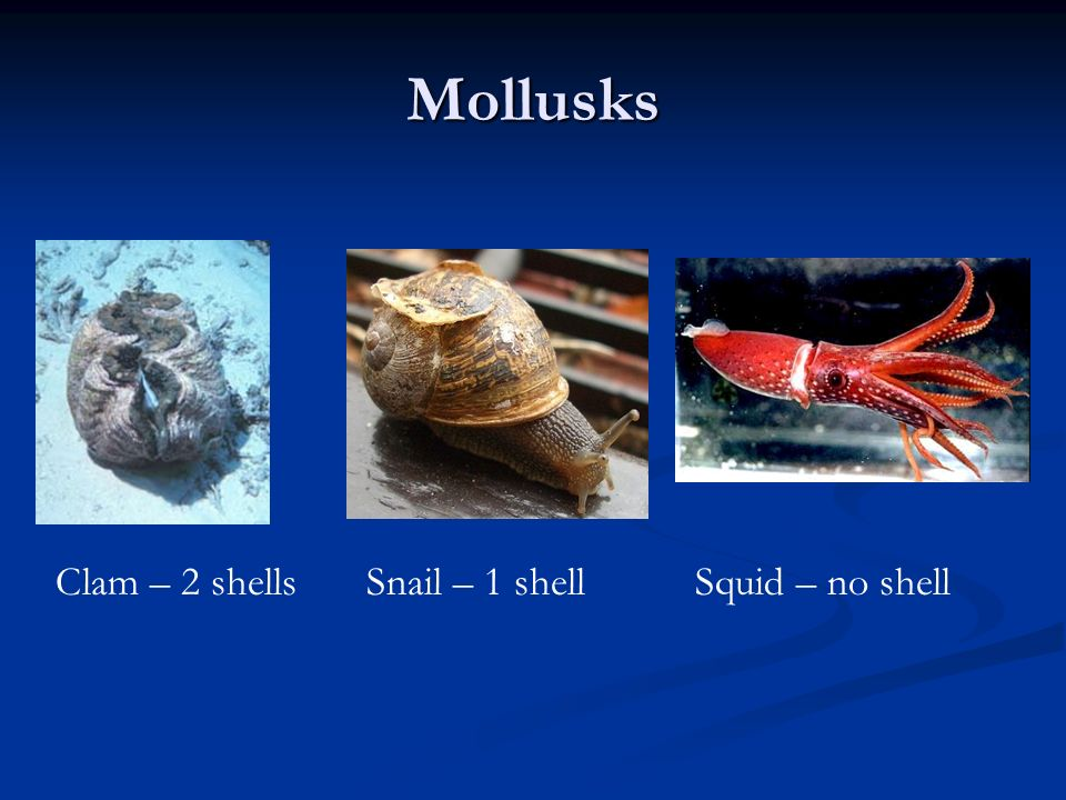 Mollusks Clam – 2 shellsSnail – 1 shellSquid – no shell