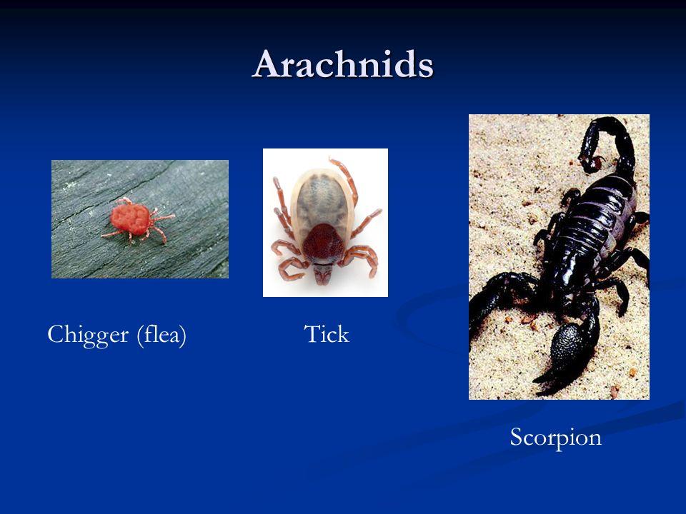 Arachnids Chigger (flea)Tick Scorpion