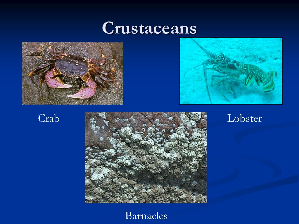 Crustaceans CrabLobster Barnacles