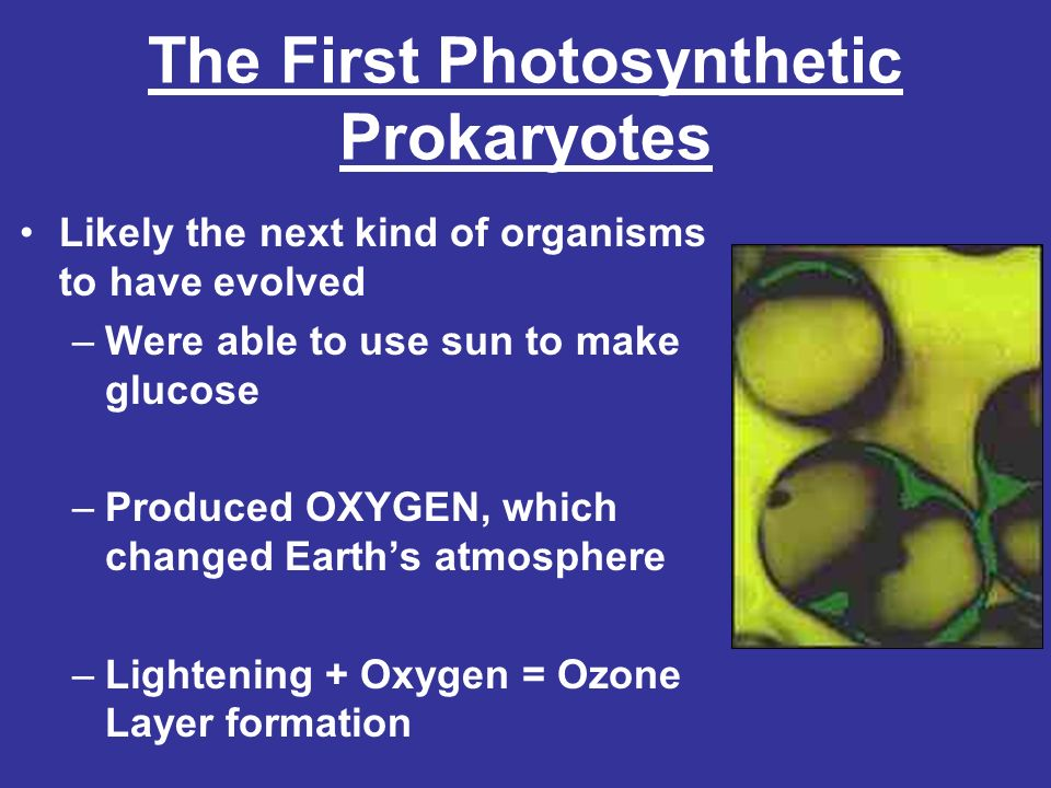 The First Photosynthetic Prokaryotes Likely the next kind of organisms to have evolved –Were able to use sun to make glucose –Produced OXYGEN, which c