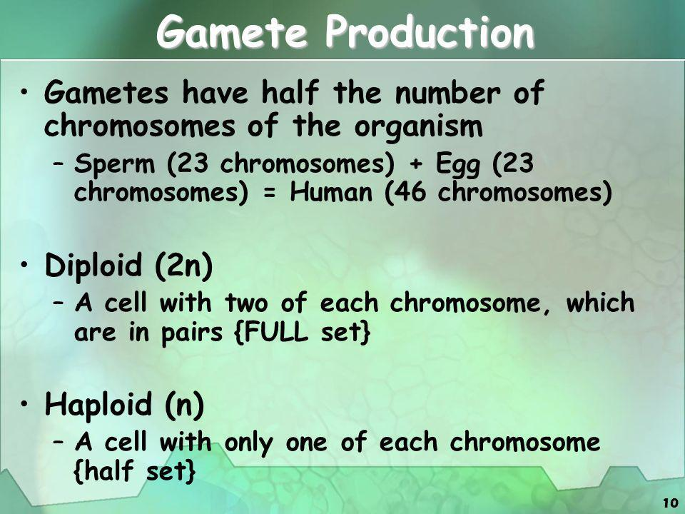 10 Gamete Production Gametes have half the number of chromosomes of the organism –Sperm (23 chromosomes) + Egg (23 chromosomes) = Human (46 chromosome