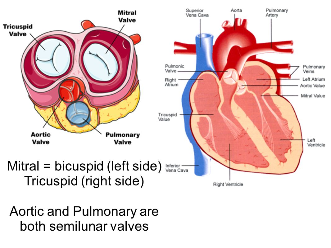 Mitral = bicuspid (left side) Tricuspid (right side) Aortic and Pulmonary are both semilunar valves
