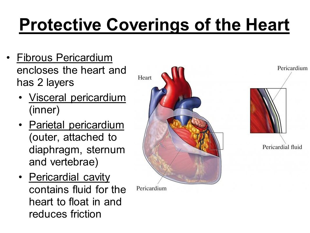 Wall of the Heart Epicardium – outer layer, reduces friction Myocardium – middle layer, mostly cardiac muscle Endocardium – thin inner lining, within chambers of the heart