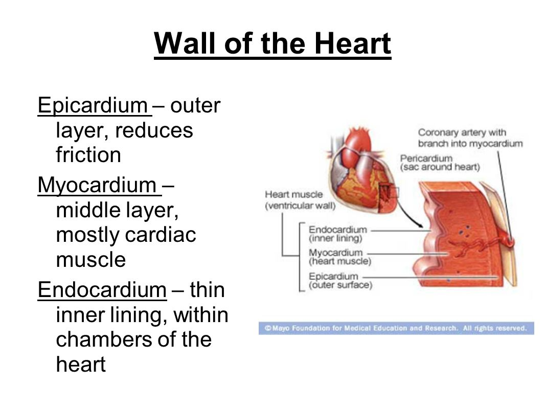 Wall of the Heart Epicardium – outer layer, reduces friction Myocardium – middle layer, mostly cardiac muscle Endocardium – thin inner lining, within