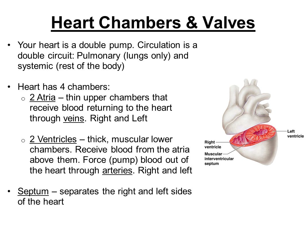Heart Chambers & Valves Your heart is a double pump. Circulation is a double circuit: Pulmonary (lungs only) and systemic (rest of the body) Heart has