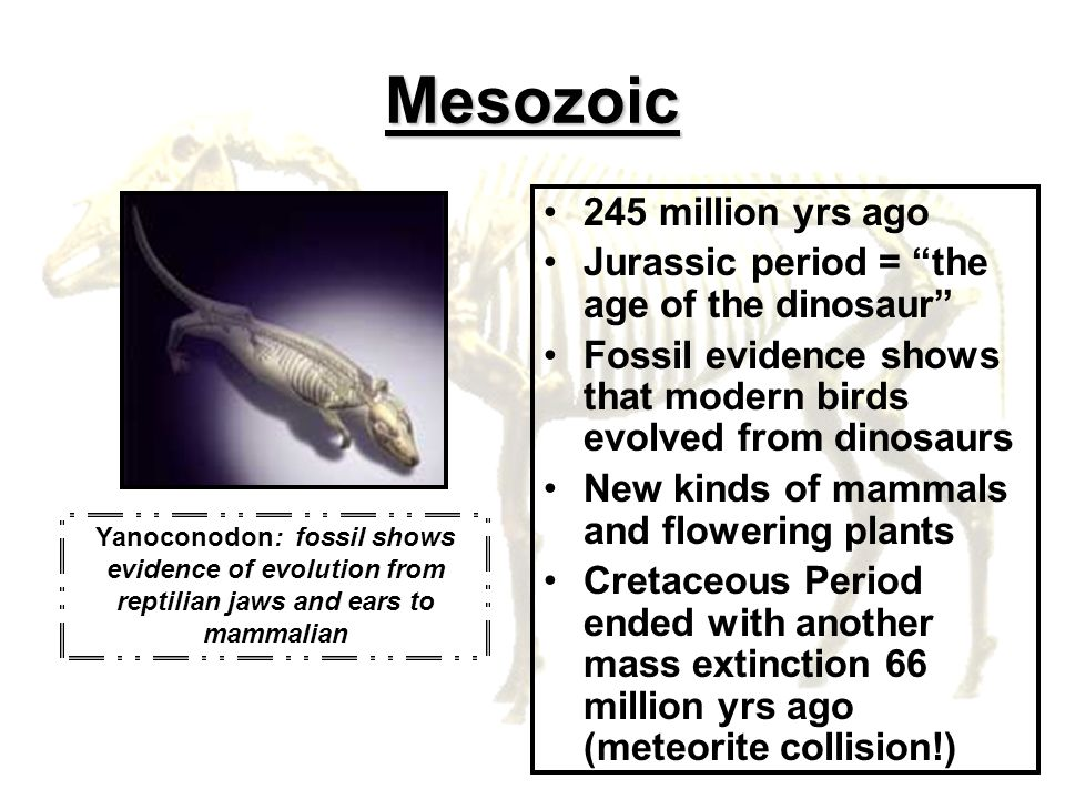 Mesozoic 245 million yrs ago Jurassic period = the age of the dinosaur Fossil evidence shows that modern birds evolved from dinosaurs New kinds of mam