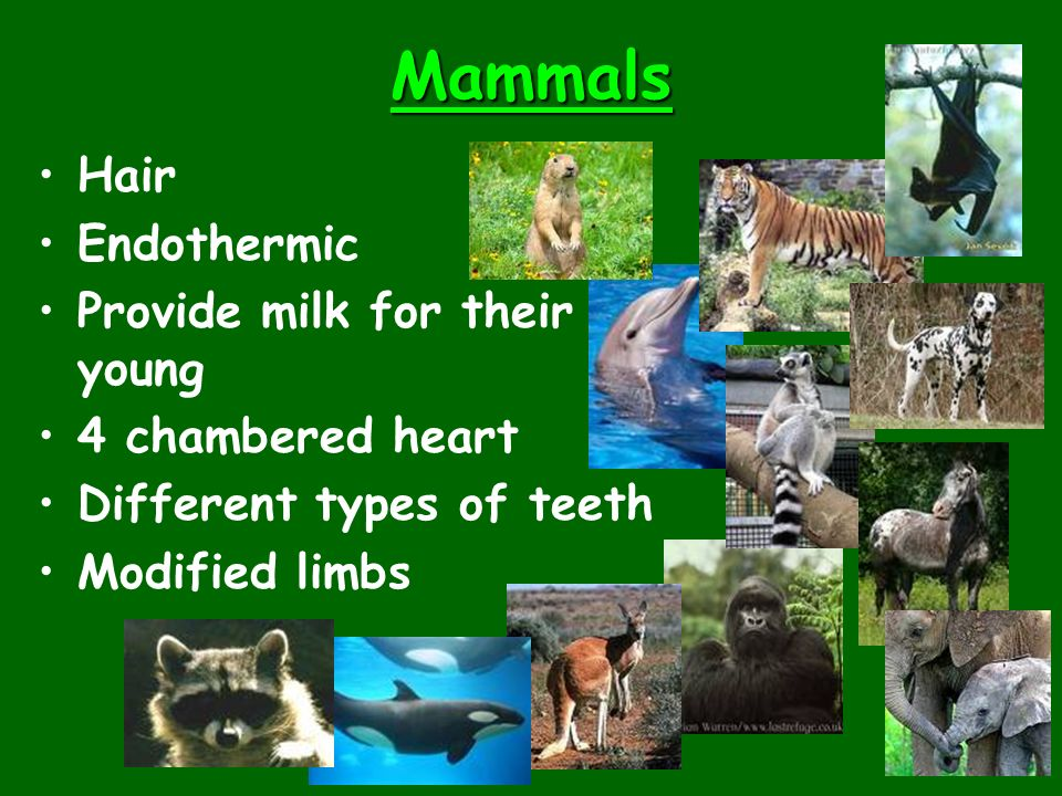 Mammals Hair Endothermic Provide milk for their young 4 chambered heart Different types of teeth Modified limbs