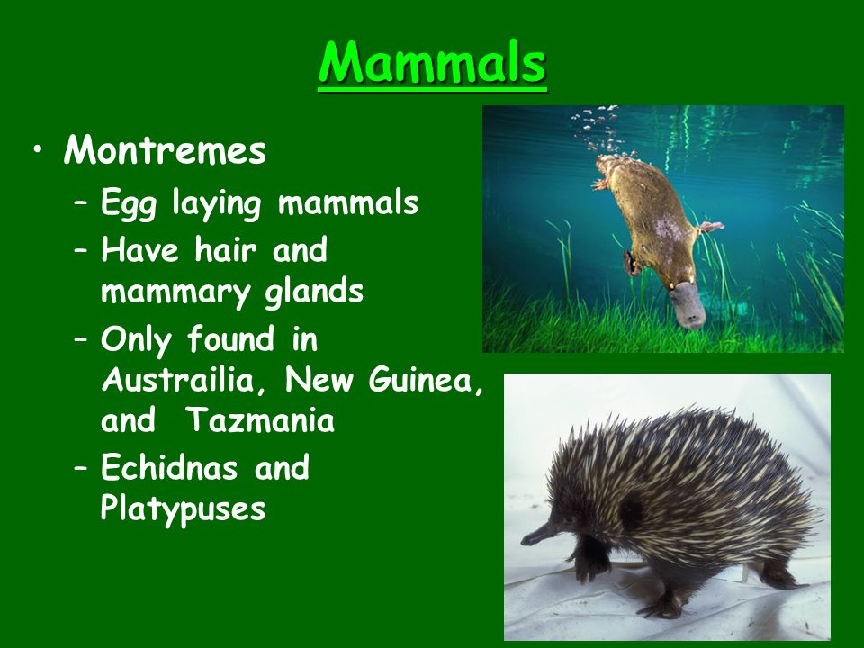 Mammals Montremes –Egg laying mammals –Have hair and mammary glands –Only found in Austrailia, New Guinea, and Tazmania –Echidnas and Platypuses