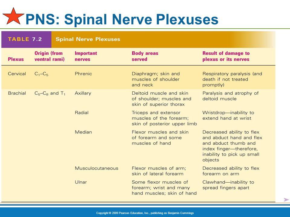 Copyright © 2009 Pearson Education, Inc., publishing as Benjamin Cummings PNS: Spinal Nerve Plexuses