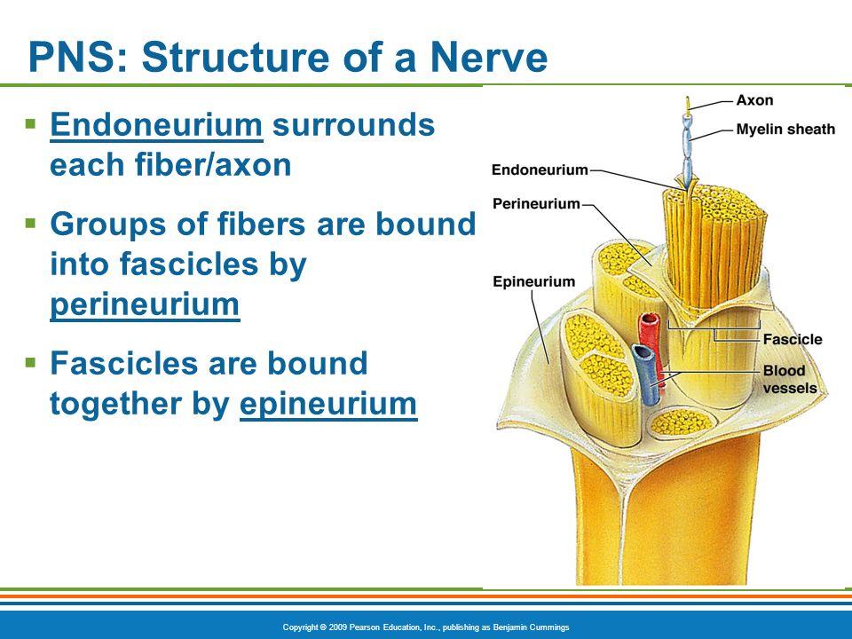 Copyright © 2009 Pearson Education, Inc., publishing as Benjamin Cummings PNS: Structure of a Nerve Endoneurium surrounds each fiber/axon Groups of fi