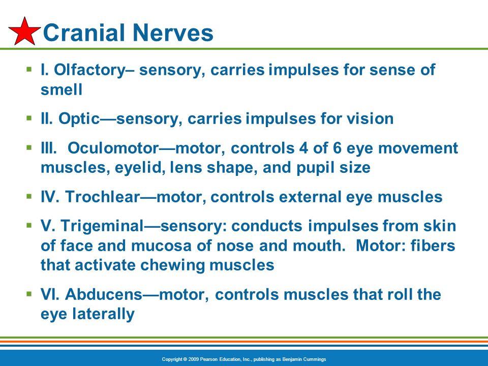 Copyright © 2009 Pearson Education, Inc., publishing as Benjamin Cummings Cranial Nerves I. Olfactory– sensory, carries impulses for sense of smell II