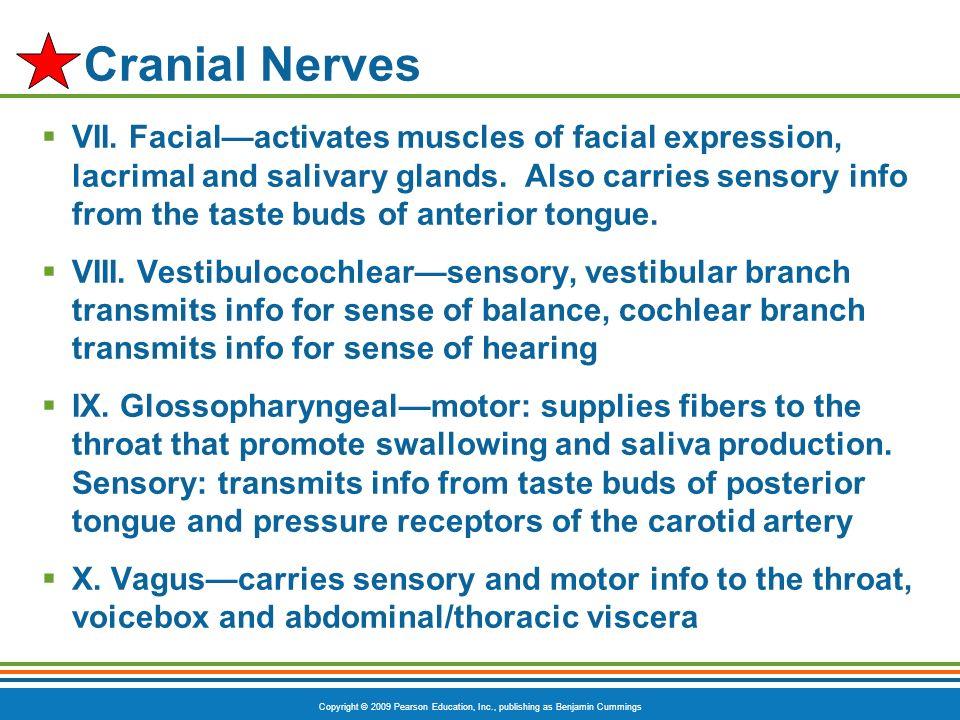 Copyright © 2009 Pearson Education, Inc., publishing as Benjamin Cummings Cranial Nerves VII. Facialactivates muscles of facial expression, lacrimal a