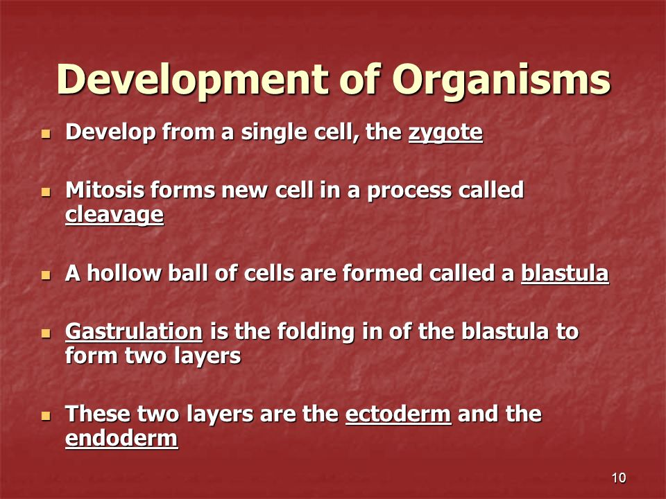 10 Development of Organisms Develop from a single cell, the zygote Develop from a single cell, the zygote Mitosis forms new cell in a process called c
