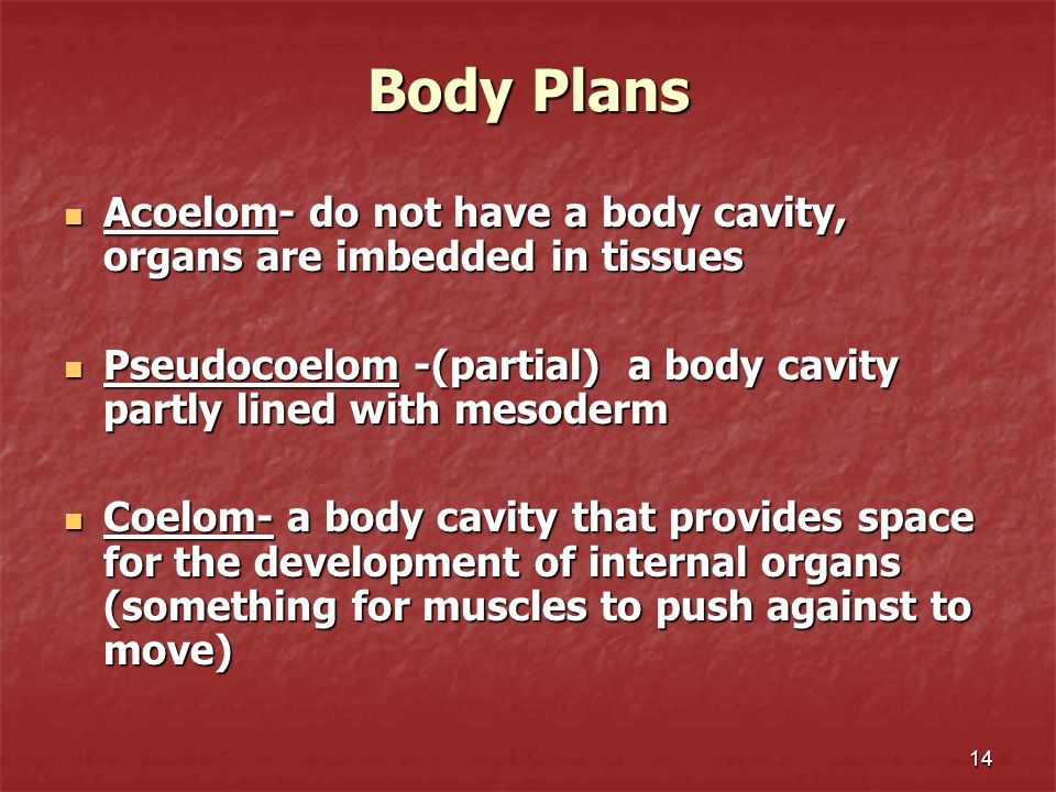 14 Body Plans Acoelom- do not have a body cavity, organs are imbedded in tissues Acoelom- do not have a body cavity, organs are imbedded in tissues Ps